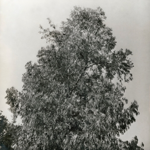 eucaliptus3