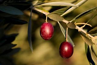 06 Aceitunas variedad ArrónizBaja
