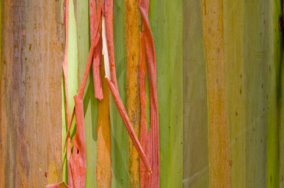 Rainbow Eucalyptus, from the Phillipines