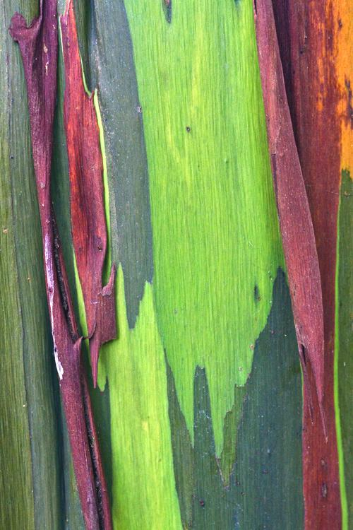 crabseucalyptusbark01