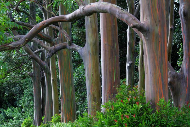 eucalipto-arco-iris-el-arbol-mas-lindo-del-mundo-1