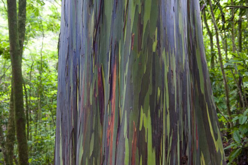 eucalipto-arco-iris-el-arbol-mas-lindo-del-mundo-2
