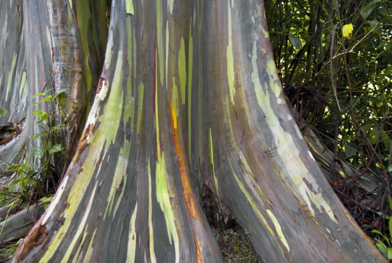 eucalipto-arco-iris-el-arbol-mas-lindo-del-mundo-3