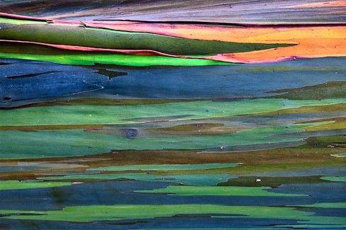 eucalipto-arcoiris-10