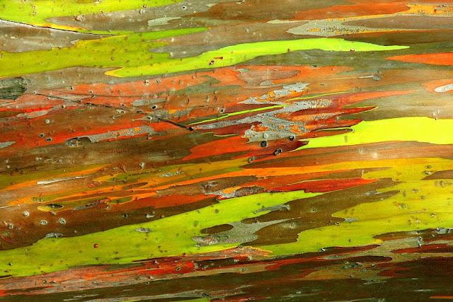 eucalipto-arcoiris-2
