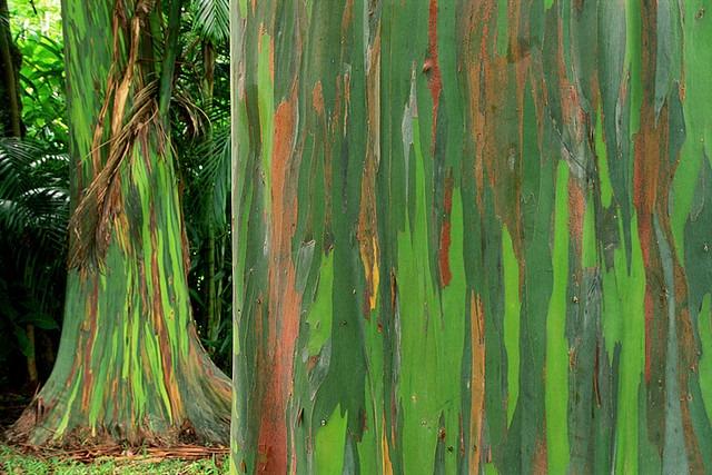 eucalipto-arcoiris-5