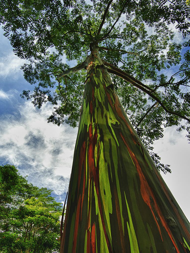eucalipto-arcoiris-88