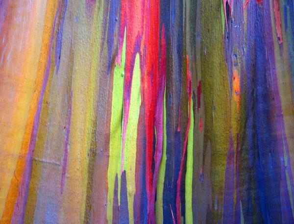 eucalipto-arcoiris-99