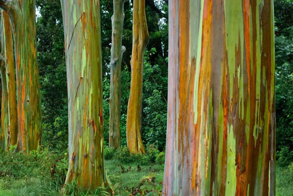 eucalyptus-deglupta11