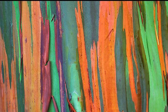 rainbow-eucalyptus-tree-color-nature-garden-exotic-beautiful-trees