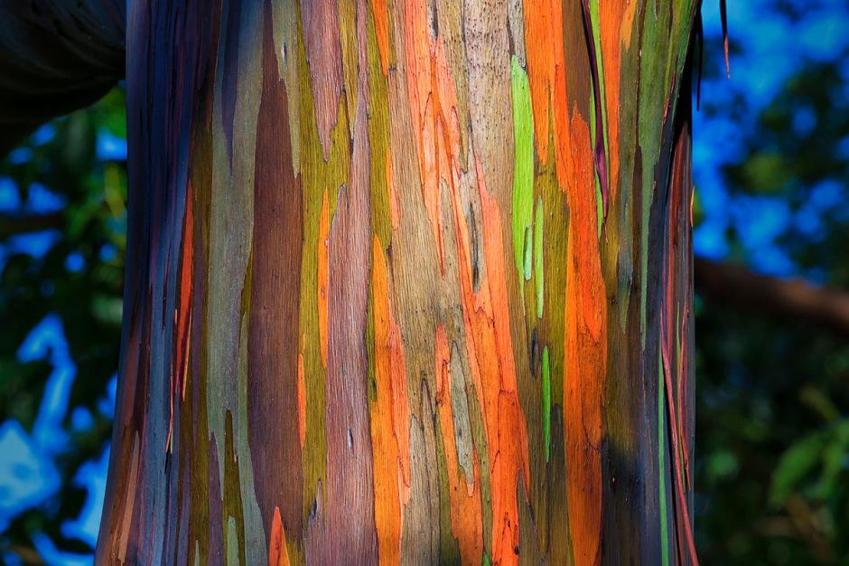 rainbow-eucalyptus1